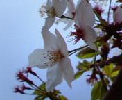 桜も終わりに